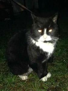 Found Cat – Covington, Wa | LOST & FOUND PETS WA STATE