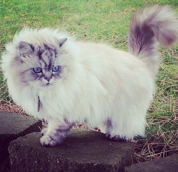 Very Fluffy Cat Very Fluffy White With Mostly