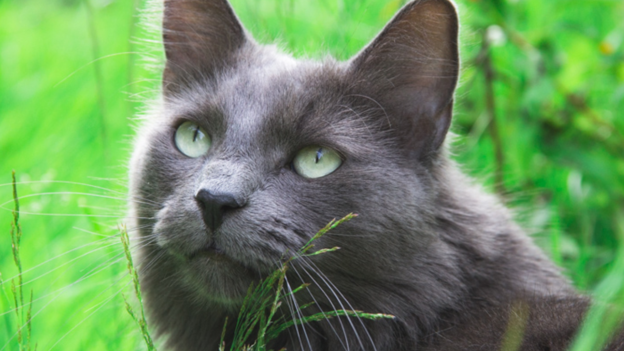 Manx Cat Breed Description
