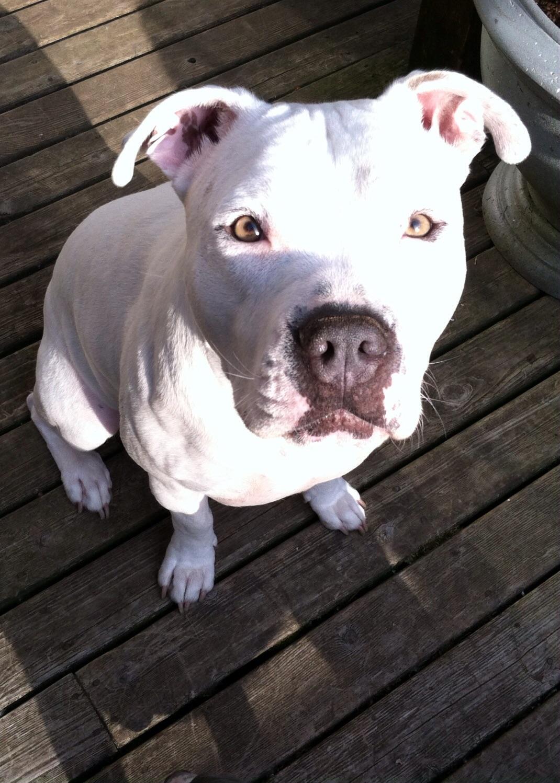 missing dog  u2013 covington  wa