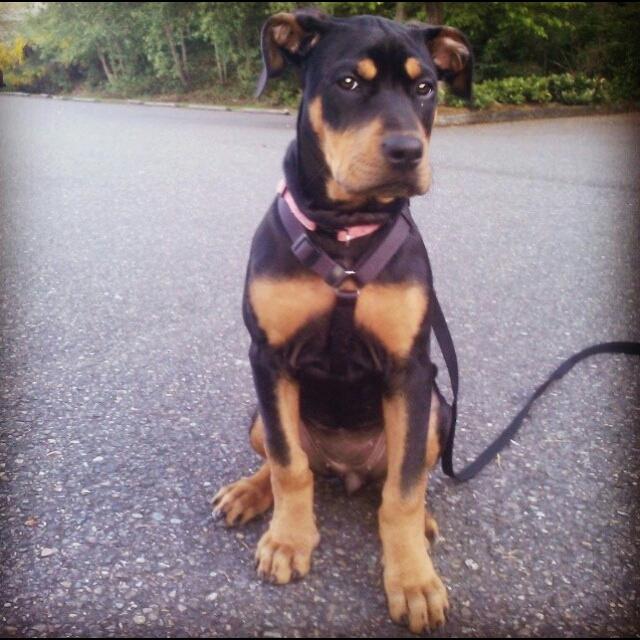 Missing Dog Olympia Wa Lost Found Pets Wa State